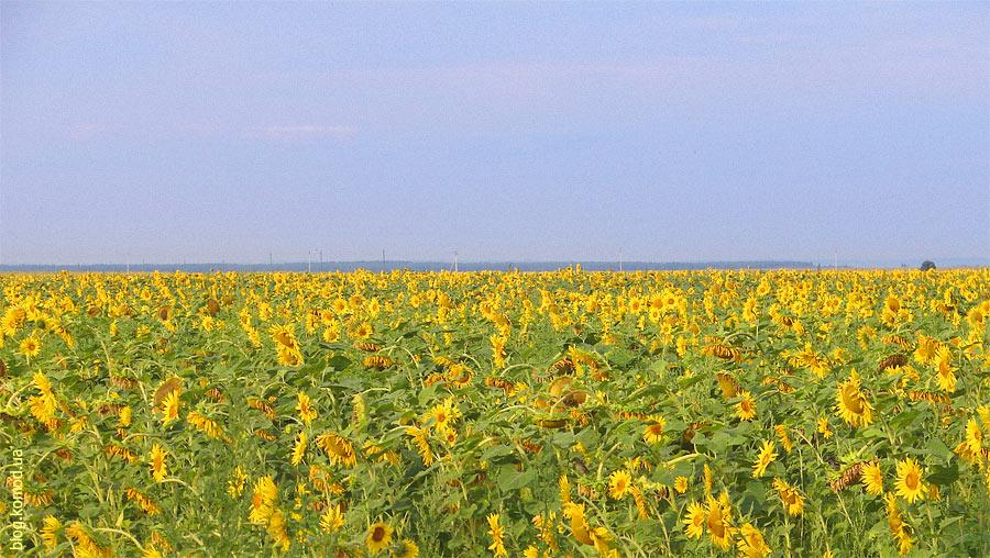 ukrainia-sunflowers